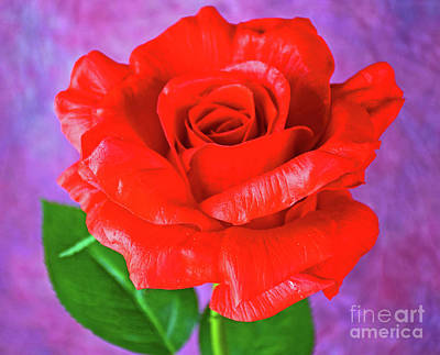 Photograph - Lovely Red Rose by Ray Shrewsberry