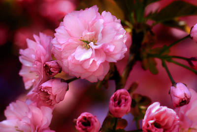 Caring Mother Photograph - Lovely Spring Pink Cherry Blossoms by Shelley Neff