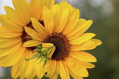 Photograph - Lovely Sunflowers by Lynn Hopwood