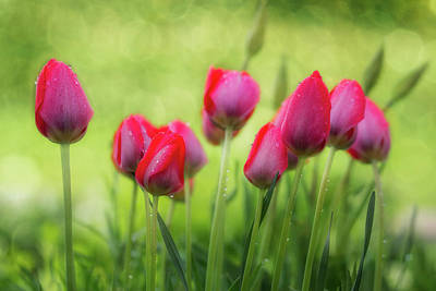 Photograph - Lovely Tulips by Gabriela Neumeier