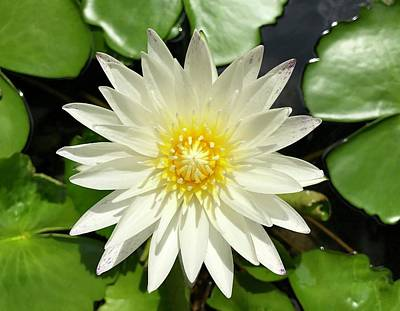 Photograph - Lovely White Waterlily by Richard Bryce and Family