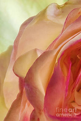 Photograph - Lovely Yellow Rose Aging Vertical by David Zanzinger