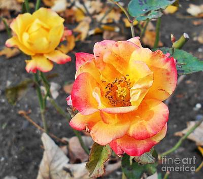 Photograph - Lovely Yellow Rose by Erika H