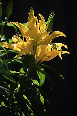 Photograph - Lover's Lilly by Mandy Shupp