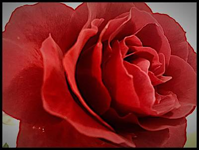 Photograph - Love's Bloom by Daniele Smith