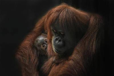 Orangutan Wall Art - Photograph - loving her Baby by Joachim G Pinkawa