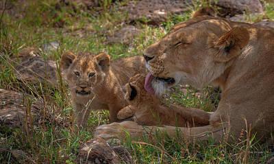 Photograph - Loving Lioness by Tim Bryan