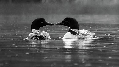 Photograph - Loving Loons by Darryl Hendricks