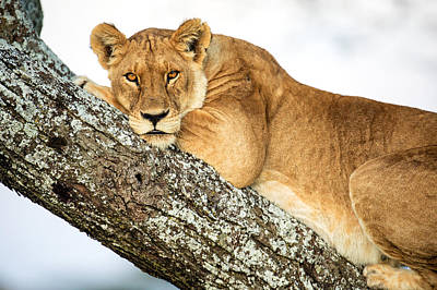 Low Angle View Of Lion Panthera Leo Print by Panoramic Images