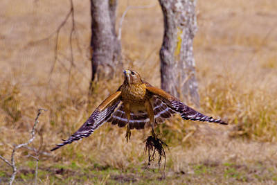 Red Shouldered Hawk Photograph - Low Flying by Linda Unger