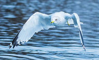 Photograph - Low Level Seagull Flight Over Water by Jeff at JSJ Photography