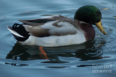 Photograph - Lowcountry Mallard Duck by Dale Powell