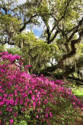 Lowcountry South Carolina Spring Azalea And Live Oak Art Print by Mark VanDyke
