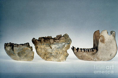 Photograph - Lower Jawbones by Granger