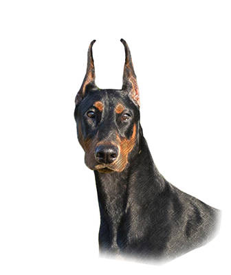 Doberman Drawing - Loyalty, Honesty, Persevarance by Maria C Martinez