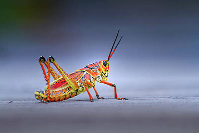 Photograph - Lubber Grasshopper by Mark Andrew Thomas