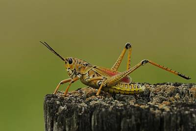 Photograph - Lubber Grasshopper On A Post by Bradford Martin