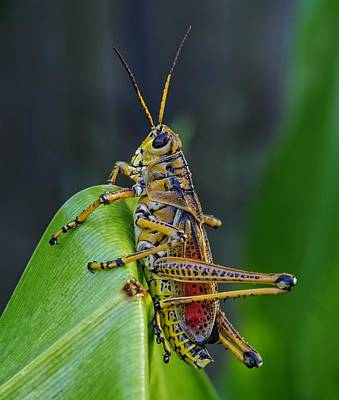 Grasshopper Photograph - Lubber Grasshopper by Richard Rizzo