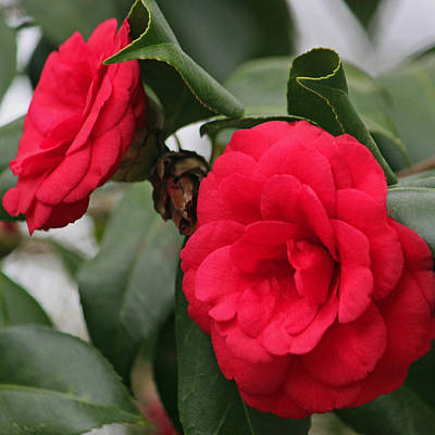 Camellia Photograph - Luscious by Suzanne Gaff