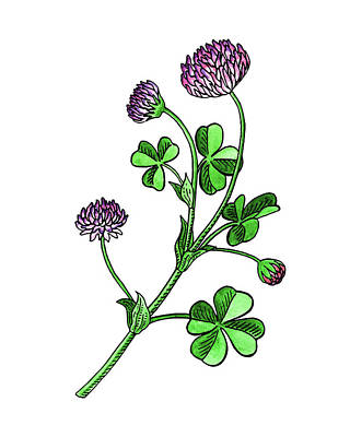 Painting - Lucky Clover Flower Botanical Watercolor  by Irina Sztukowski