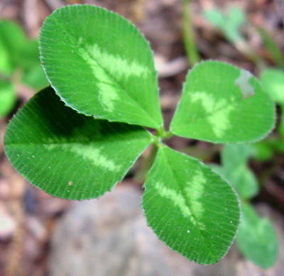 4 Leaf Clover Photograph - Lucky by Sharon Marcella Marston