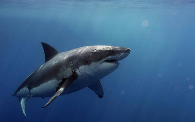 Sharks Photograph - Lucy Posing At Isla Guadalupe by Shane Linke