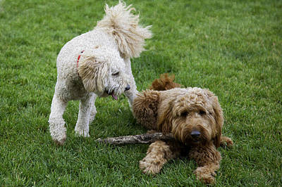Golden Doodle Photograph - Luke And Friend by Madeline Ellis