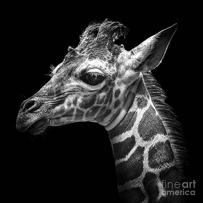 Photograph - Lulu-giraffe by Sonya Lang