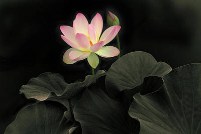 Photograph - Luminous Lotus by Jessica Jenney