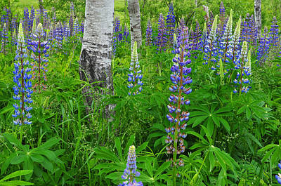 Photograph - Lupine And Aspen - Maine by Expressive Landscapes Fine Art Photography by Thom