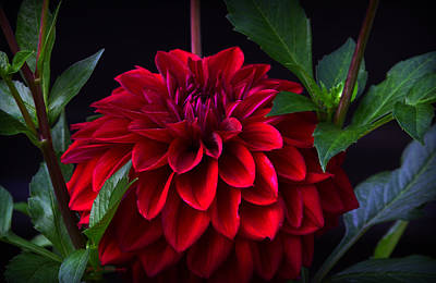 Photograph - Luminous Red Dahlia by Jeanette C Landstrom