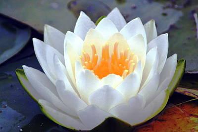 Photograph - Luminous Water Lily by Nicki Bennett