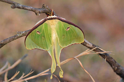 Photograph - Luna Moth by Alan Lenk