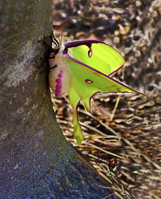 Photograph - Luna Moth Close Side View by Sandi OReilly