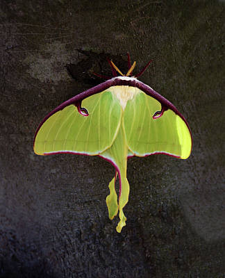 Photograph - Luna Moth Close Up by Sandi OReilly