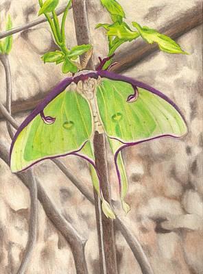 Luna Moth Drawing - Luna Moth by Courtney Trimble