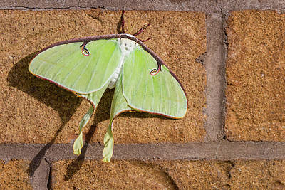Photograph - Luna Moth by Dawn Currie