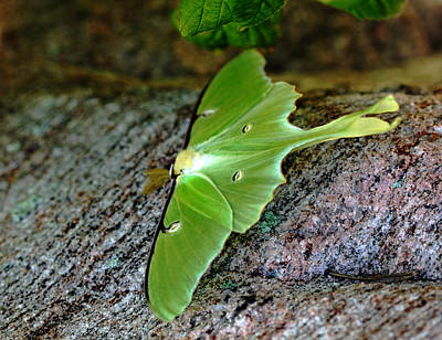 Photograph - Luna Moth by Debbie Oppermann