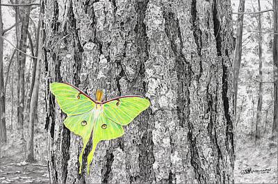 Luna Moth Drawing - Luna Moth by Don Macmillan