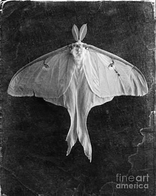 Luna Photograph - Luna Moth  by Edward Fielding