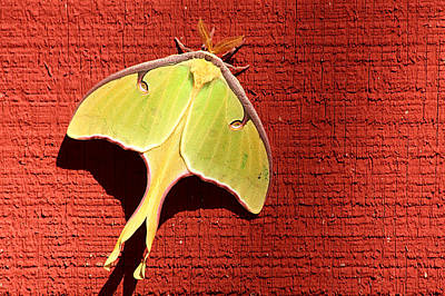 Luna Moth On Red Barn Art Print by Sheila Brown