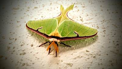 Photograph - Luna Moth by Vincent Autenrieb