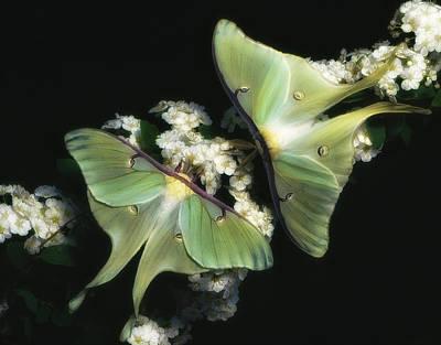 Photograph - Luna Moths by Gary Shepard