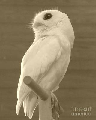Photograph - Luna The Rescued White Leucistic Eastern Screech Owl In Sepia by Barbie Corbett-Newmin