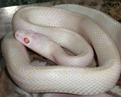 Photograph - Luna White Snake by Patricia McNaught Foster