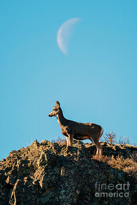 Photograph - Lunar Doe by Mike Dawson