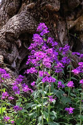 Photograph - Lunaria Annua by John Haldane