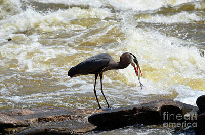 Photograph - Lunch In The James River 11 by Afroditi Katsikis