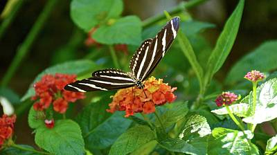 Photograph - Lunch On Lantana by Carol Bradley