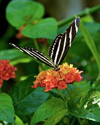 Photograph - Lunch On Lantana II by Carol Bradley